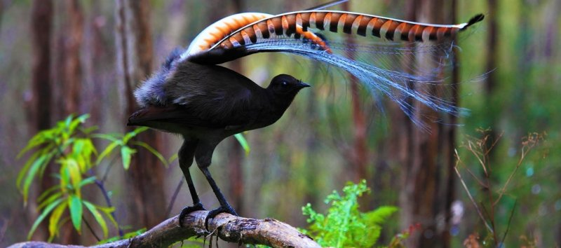 https://assets.roar.media/Bangla/2017/10/Superb-lyrebird-in-Marysville-State-Forest-Australia-20160601.jpg