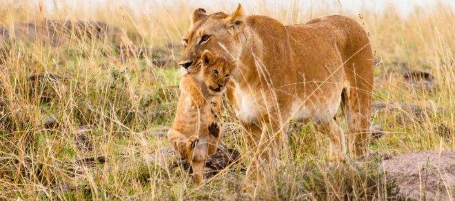 https://assets.roar.media/Bangla/2017/10/lioness_with_cub.jpg