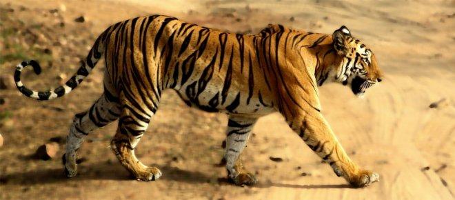 https://assets.roar.media/Bangla/2017/12/68_tigress-picsay.jpg