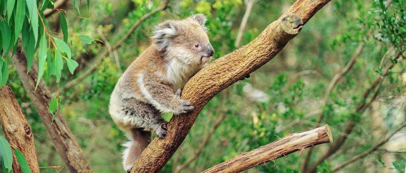 https://assets.roar.media/Bangla/2017/12/koala1.jpg
