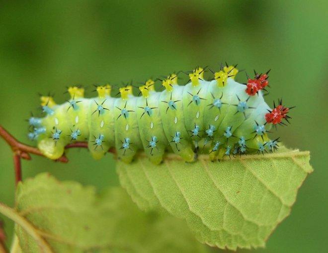 https://assets.roar.media/Bangla/2018/02/Cecropia_Moth_Caterpillar_Hyalophora_cecropia-01.jpeg