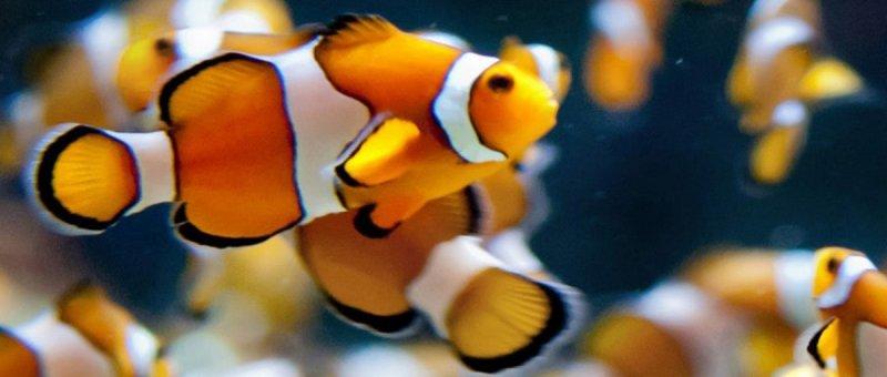 https://assets.roar.media/Bangla/2018/05/19_Clownfish-crop.jpg