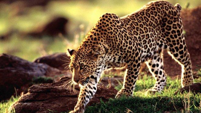 https://assets.roar.media/Bangla/2018/05/Wild-animal-leopard-wallpaper-hd.jpg