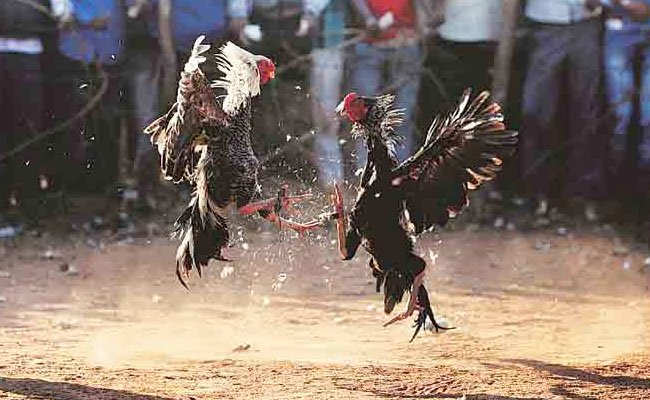 https://assets.roar.media/Hindi/2017/01/Cock-Fighting-Jallikattu-and-related-traditions-in-India-Hindi-Article-on-Indian-Culture.jpg