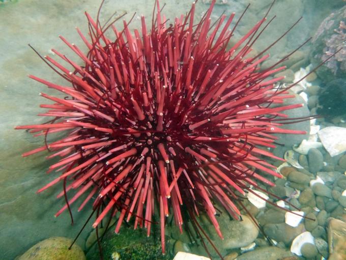 Sea urchin a sea animal