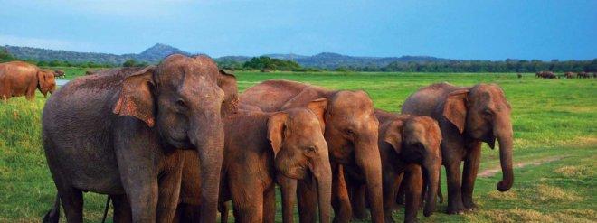 https://assets.roar.media/Sinhala/2017/09/elephant-in-sri-lanka-e1504273500255.jpg