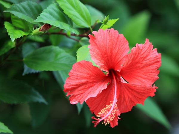 https://assets.roar.media/Tamil/2016/10/06-1436158519-04-1435990706-5-hibiscus.jpg