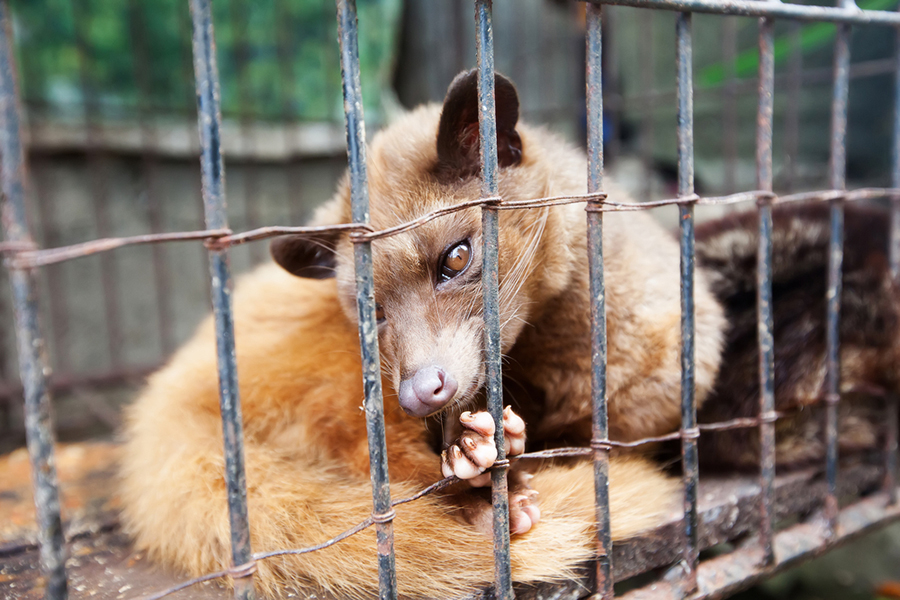 Civet Cat in Small cage