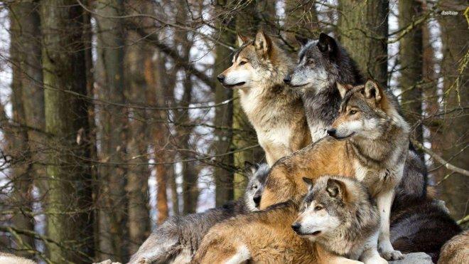 https://assets.roar.media/assets/H4zNCmoUskqHA57R_Hq8K6EX-wolfpack-wallpaper.jpg
