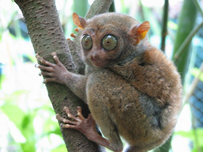 https://assets.roar.media/assets/KCKIPm26MGVnuu65_Tarsier-is-unique-type-of-primate-that-inhabits-southern-and-eastern-parts-of-Asia-Malaysia-Indonesia-and-the-southern-Philippines.jpg