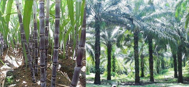 https://assets.roar.media/assets/LMmARkKGsSqgQNS7_Sugar-or-Oil-Palm.jpg