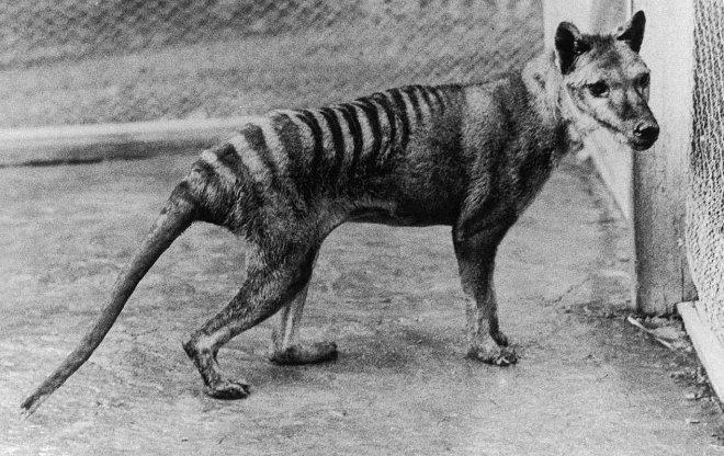https://assets.roar.media/assets/pZ9o4mbLeoMqSBCc_Benjamin-thylacine-MA48343112-cropped-800h.jpg